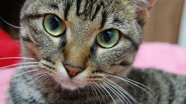 Une Anglaise a mis son chat au micro-ondes pour le punir d'avoir mangé son poisson rouge. (illustration)