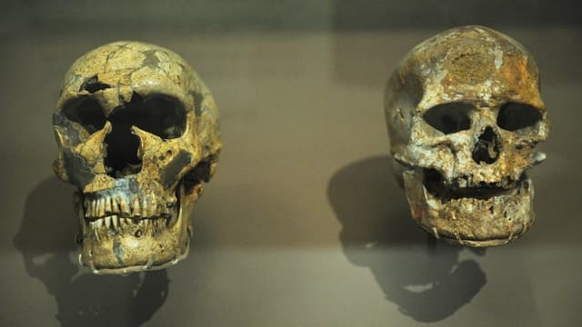 Crâne de Néandertalien à gauche et crâne d'Homo sapiens à droite