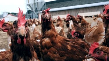 L'abattoir de poulets du breton Tilly-Sabco va pouvoir continuer à tourner deux jours par semaine jusqu'en septembre.