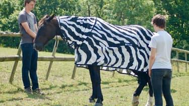 Des scientifiques britanniques ont déguisé des chevaux en zèbres pour comprendre pourquoi ils sont rayés
