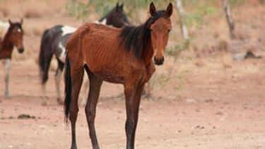 """Selon Conseil des terres du centre australien, 10.000 chevaux sauvages """"souffrent d'une mort lente et terrible"""""""