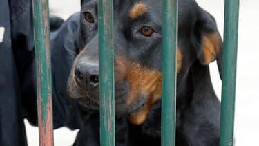 L'enfant a été blessé au visage par un Rottweiler appartenant à son oncle (PHOTO D'ILLUSTRATION)