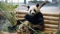 Jiao Qing, l'un des deux pandas offerts par la Chine à l'Allemagne, en train de manger du bambou dans le zoo de Berlin, le 5 juillet 2017