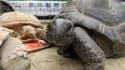 La tortue Abuh, de retour au parc animalier de Shibukawa, après s'être échappée pendant deux semaines.