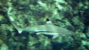 Un requin pointe noire nage dans un bassin du parc aquatique Océanopolis de Brest, le 03 septembre 2003