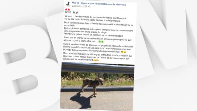 Un louveteau, aperçu dans la station de sports d'hiver de Valberg, a été capturé et placé en observation.