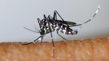 """Le moustique tigre, Aedes albopictus de son nom latin, est le principal """"vecteur"""" du virus du chikungunya."""
