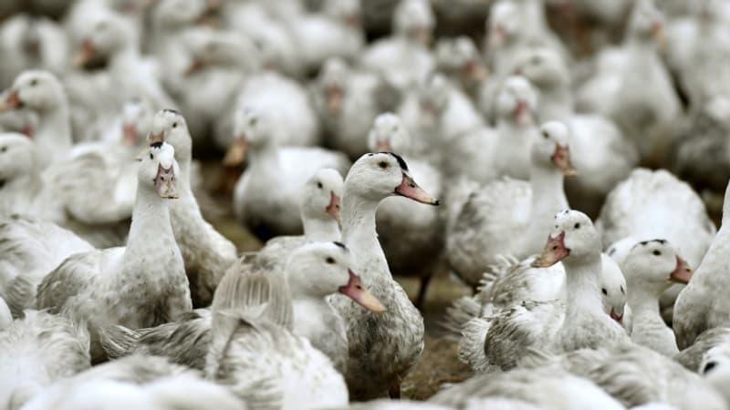Landes: un deuxième élevage de canards contaminé par la grippe aviaire