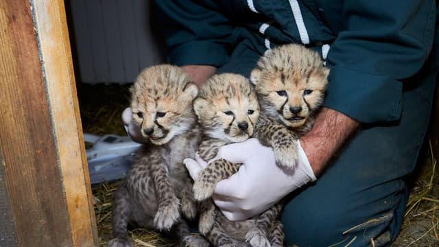 Les trois bébés guépards juste après leur naissance au zoo de La Palmyre.
