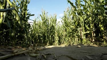 Le Conseil d'Etat annule l'interdiction de cultiver du maïs transgénique
