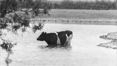 Vache se rafraîchissant dans un champ près de Lille.