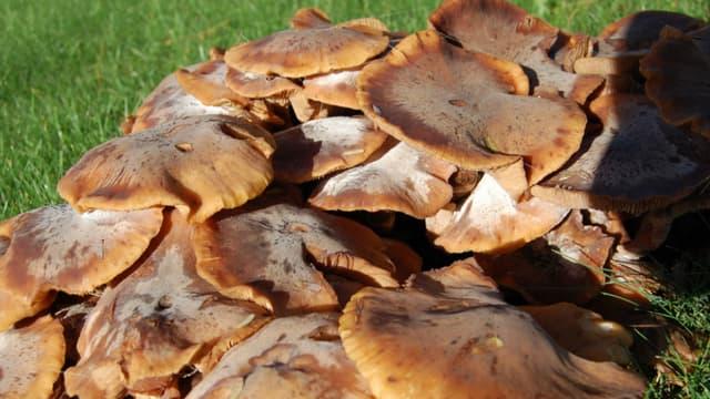 Les champignons poussent en plein mois de juin. Photo d'illustration