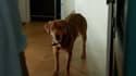 """L'un des deux chiens qui interprètent """"White God"""", vainqueur du prix """"Un certain regard"""" et de la Palm dog, le 23 mai 2014."""