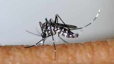 Le moustique tigre est le principal vecteur du virus du chikungunya.