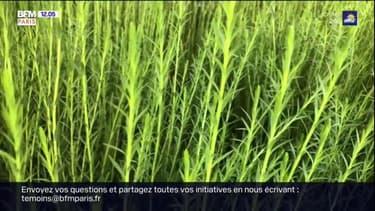 Paris: une plantation de lin en plein cœur de la capitale