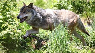 Un loup photographié dans le parc naturel des Angles, en France, en 2015