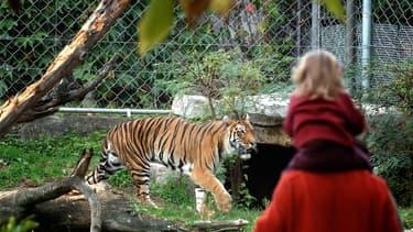 Un tigre au zoo du parc de la Tête d'Or en 2006.