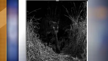 Le léopard noir au Kenya