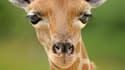 Après les pandas et les loutres, les girafes comme Adeline sont-elle les nouveaux animaux mignons?