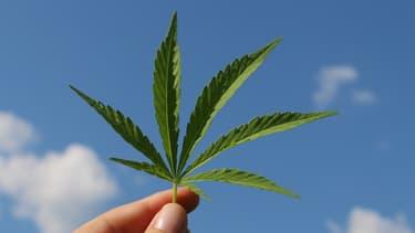 En France, seules les fibres et les graines de chanvre peuvent être utilisées, alors que la réglementation européenne permet d'exploiter toute la plante.