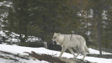 Un loup solitaire (image d'illustration)
