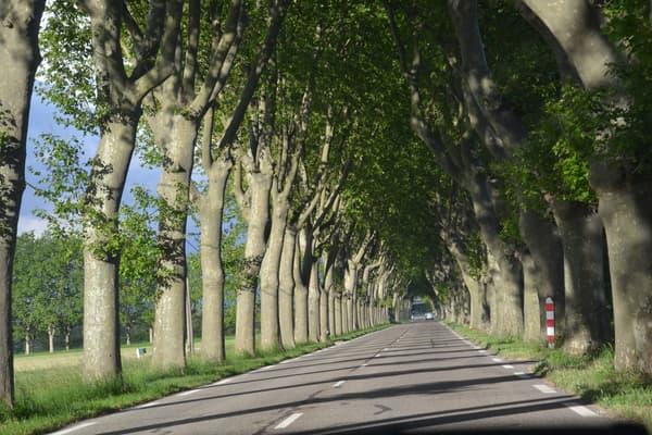 Rangée typique de platanes en France
