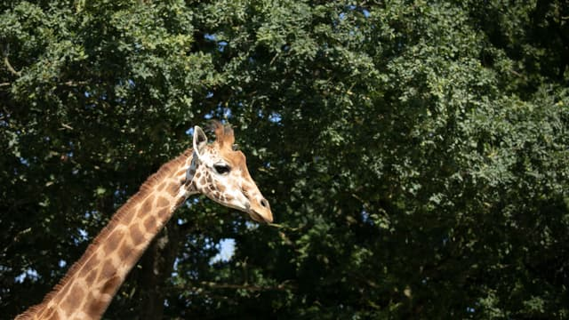 Une girafe (photo d'illustration)