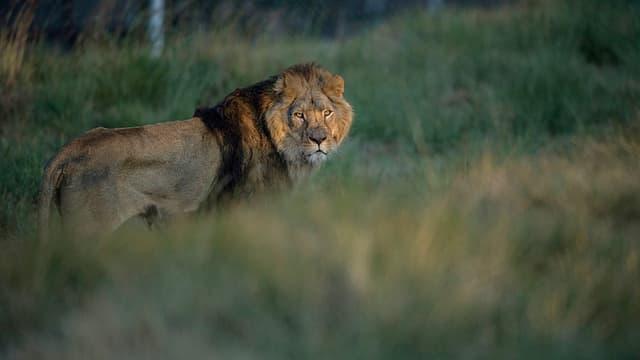 Un lion rescapé de maltraitance en Europe est libéré dans le sanctuaire de Lionsrock, en 2015, en Afrique du Sud (illustration)