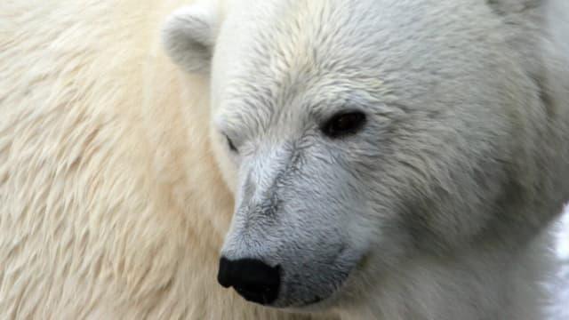 Un ours polaire au parc SeaWorld de San Diego, le 7 octobre 2007.