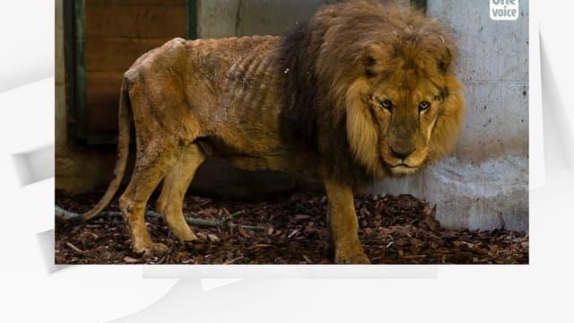 Le lion Jon, saisi par le procureur de l'Eure.