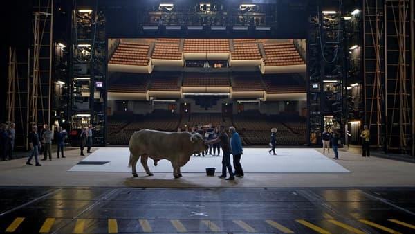 """Le taureau choisi pour jouer les figurants dans """"Moses und Aron"""", à l'Opéra Bastille."""