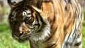 Hana, la tigresse du zoo de Jérusalem a tué ses deux petits.