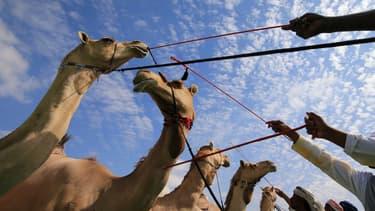 Les aliments à base de chameau se développent (photo d'illustration)
