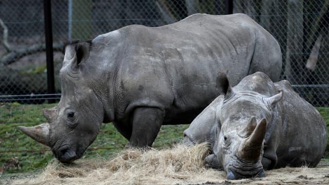 """Bruno"" et ""Gracie"", deux rhinocéros blancs du zoo de Thoiry (Yvelines)"