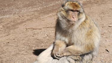 Un singe magot errant très agressif a été neutralisé mardi à Marseille. (Photo d'illustration)