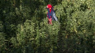 Un champ de cannabis dans la vallée du Rif au Maroc en 2017