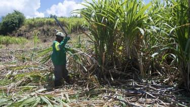 90% de la production est livrée aux sucreries, le reste à huit distilleries de rhum agricole.