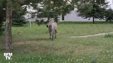 En Slovaquie, un zèbre échappé d'un parc animalier se promène dans les rues de Piešťany