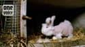 Les lapins angoras vivent le même calvaire, trois fois par an