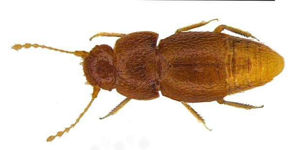 Greta, le petit coléoptère découvert par Michael Darby