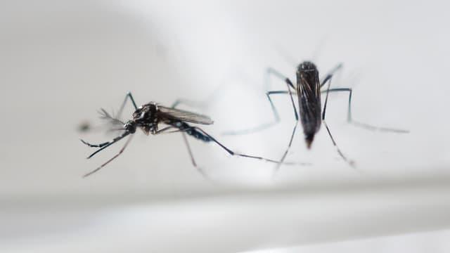 Le moustique-tigre est responsable de l'épidémie de Zika en Amérique latine.