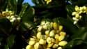 Fleur d'oranger du Mexique