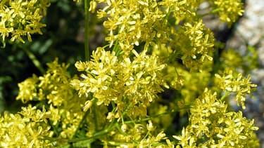 Le pastel du teinturier est une plante verte aux fleurs jaunes dont on extrait un pigment naturel bleu.