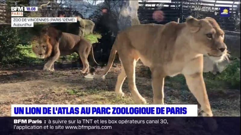 Vincennes: un lion de l'Atlas débarque au parc zoologique de Paris