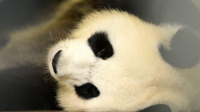 La femelle panda Huan Huan enceinte de jumeaux, après sa première échographie le 26 juillet 2017
