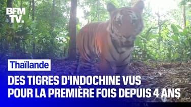 Des images rares de tigres d'Indochine tournées par une ONG en Thaïlande