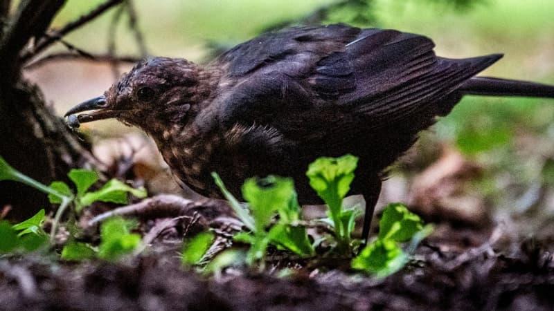 Le gouvernement veut ré-autoriser certaines chasses traditionnelles d'oiseaux