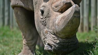 Sudan, le dernier mâle rhinocéros blanc du Nord, le 5 décembre 2016 à Nanyuki au Kenya. Il est mort en mars 2018.