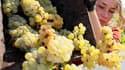 A la Mission Haut-Brion, château contigu à Haut-Brion à Pessac, une cinquantaine de vendangeurs ont commencé mardi à couper les grappes déjà mûres d'une parcelle de sauvignon d'environ 1 hectare sur les 3,5 hectares de vignes consacrées au vin blanc. /Pho