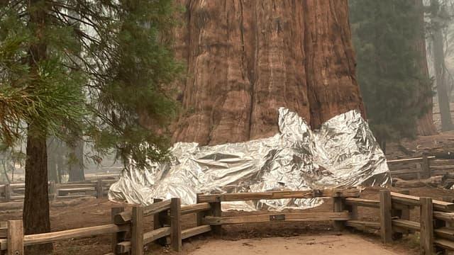 """Le séquoia """"Général Sherman"""", 83 mètres de haut, a été protégé avec de l'aluminium, le 17 septembre 2021"""
